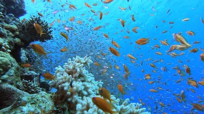 Tropical Glass-fish