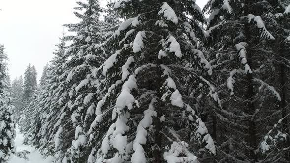 Cover Image for Tall Dense Old Spruce Trees Grow on a Snowy Slope