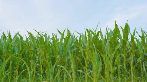 Green Corn Plantation with Blue Sky