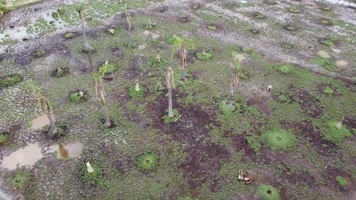 Dead palm tree in wetland.