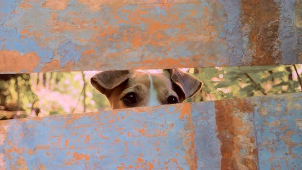 Thumbnail for Jack Russell Terrier Dog in His Place. Dog Spying. Trained Dog Peeping Through Crossbars. Privacy