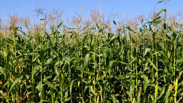 Field with Corn Stalks Against a Blue Sky