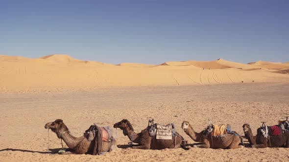 Thumbnail for Camels Resting In A Row In Sandy Desert
