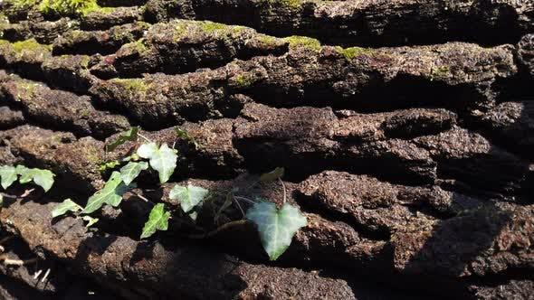 Thumbnail for Tree Trunk Bark 2