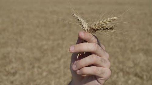 Before Harvest