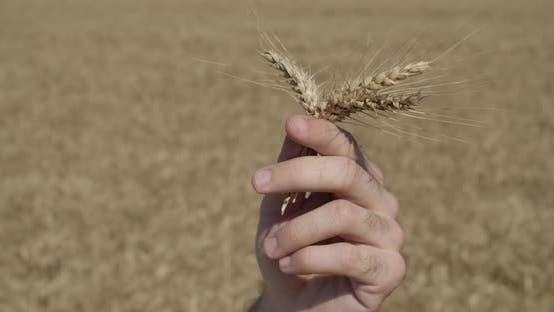 Thumbnail for Vor der Ernte