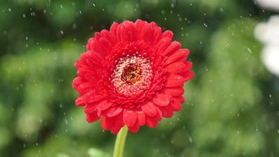 Watering A Red Flower In The Garden
