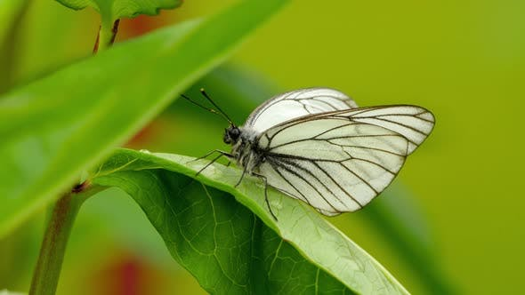 Thumbnail for Aporia Crataegi -Black-veined White Butterfly