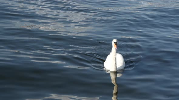Cover Image for Swan family in Stockholm Sweden