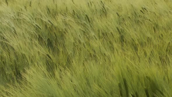 Thumbnail for The Green Ears Of Grain. Wheat Wind Shakes
