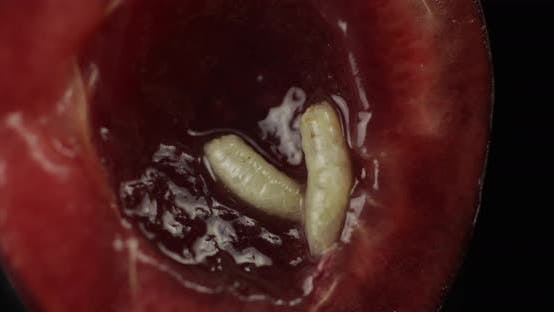 Thumbnail for Fruit Worms in Rotten Cherry, Black Background. Larva of Cherry Flies. Closeup