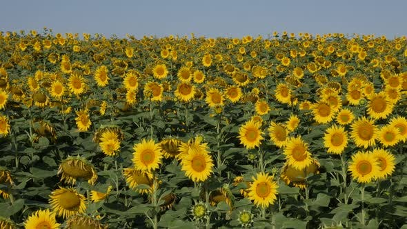 Thumbnail for Endless sunflower Helianthus annuus plant field slow-mo video