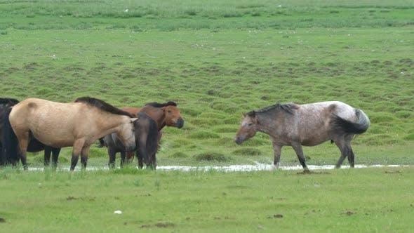 Free Herd of Wild Horses in Wetland