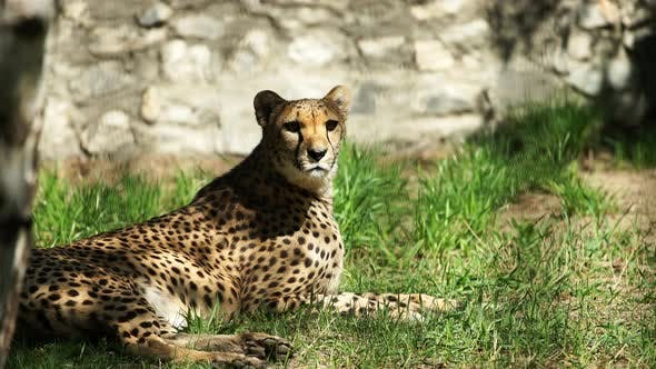 Thumbnail for Gepard Rests In Summer In The Zoo