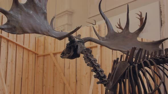 Thumbnail for The Moose Elk Skeleton