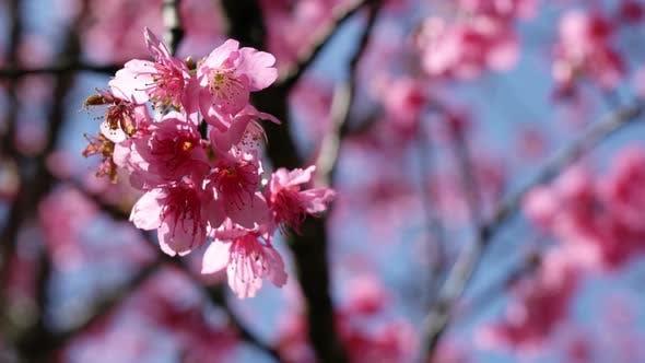 Thumbnail for Japanese Sakura