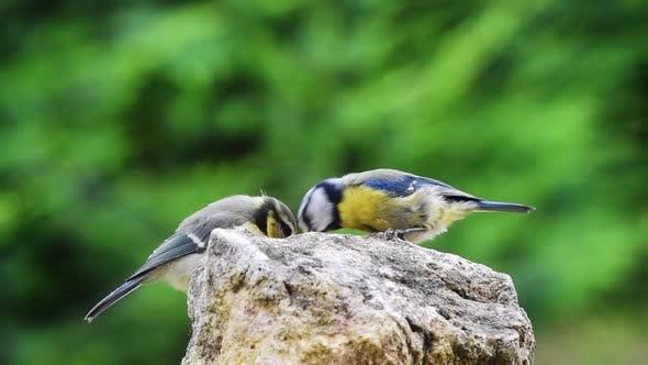 Thumbnail for Blue Tit bird feeding her baby