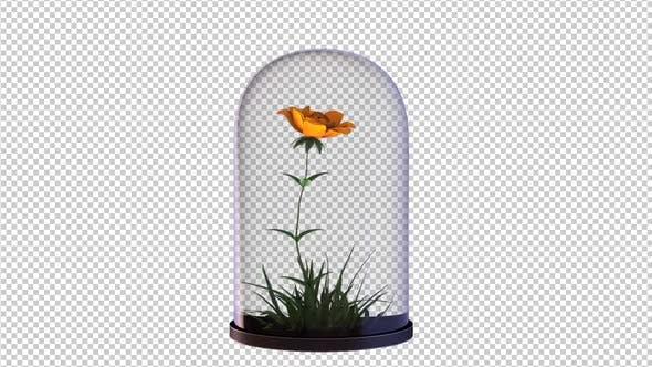 Wachsende Rosenblume in der Glaslaterne