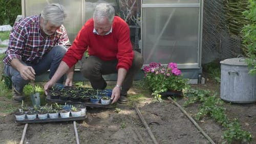 MS TD Senior men working in domestic garden with tray of plants / Breda, NoordBrabant, Netherlands.