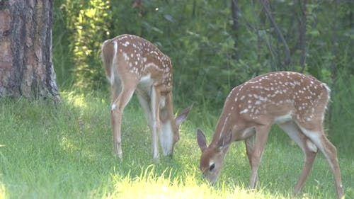 White-tailed Deer Young Fawn Pair Eating Grazing in Summer Twin Twins Fawns Spotted