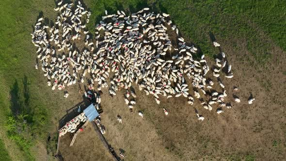 Thumbnail for Flying Above Herd of Sheep Livestock Grazing in a Meadow