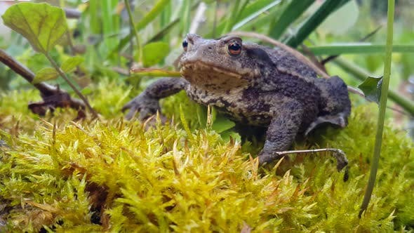 Cover Image for Close up from a Common toad