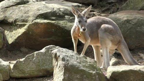 Red Kangaroo Adult Alone Walking Moving