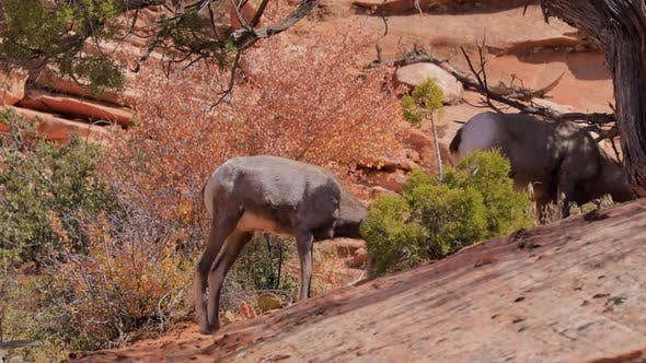 Thumbnail for Wild Bighorn Sheep in Zion National Park