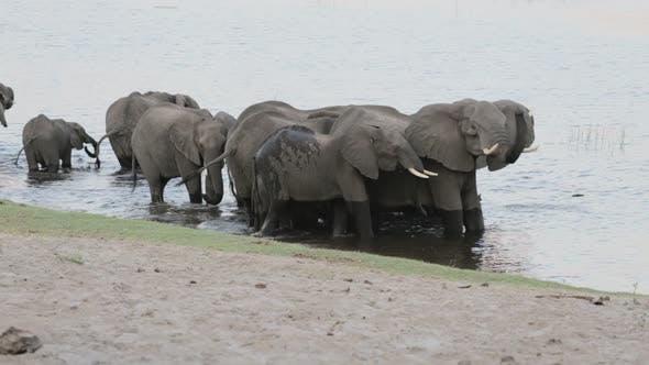 Herd of African elephants drinking at waterhole
