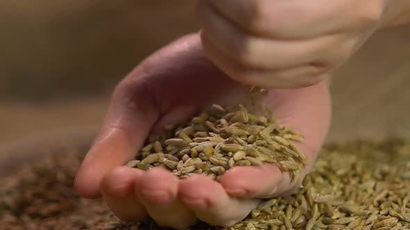 Thumbnail for Female Hands Holding Select Organic Rye Grain, Showing Good Quality of Harvest
