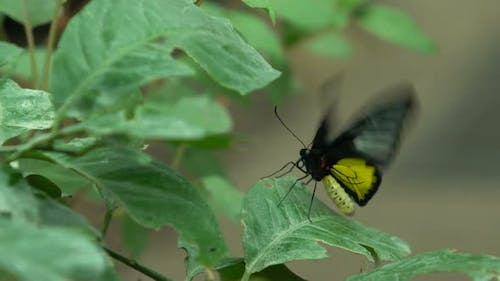 Troides Radamanthus, Beautiful Exotic Butterfly From South Asia, Entomology