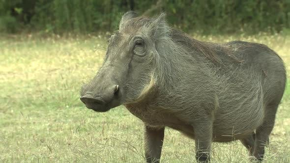 Thumbnail for Warthog Adult Lone Eating Feeding Dry Season in South Africa