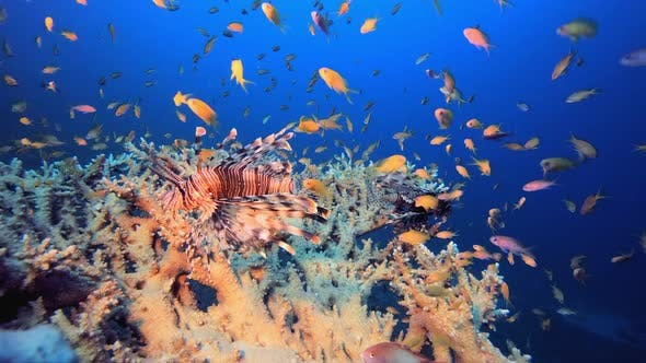 Thumbnail for Tropical Red Sea Lionfish
