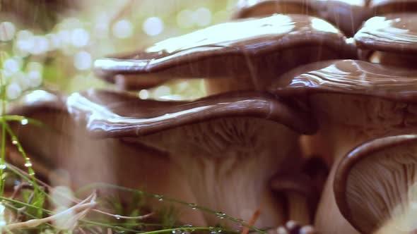 Thumbnail for Pleurotus Mushroom In a Sunny Forest in the Rain