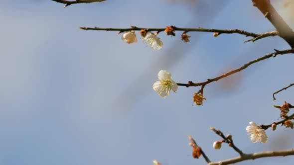 Thumbnail for Apricot Flowers
