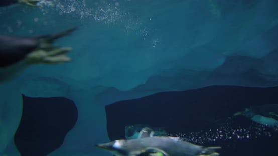 Thumbnail for Group of Penguins Swims Underwater. Closeup