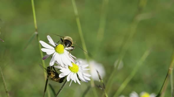 Cover Image for Bee on a Daisy Flower