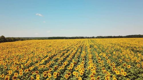 Movement of amazing sunflower fields and meadow under the blue sky in summer.