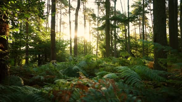 Thumbnail for Forest floor at sunrise with brachen