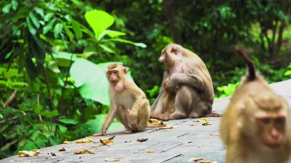 Thumbnail for A Family of Monkeys Lives in A National Park. Tropical Forest, Eating Bananas and Nuts