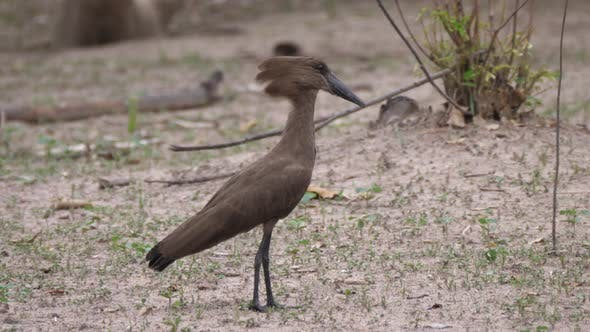 Thumbnail for The hamerkop bird in Kahi Badi Forest Park