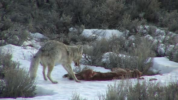 Thumbnail for Coyote Adult Lone Eating Feeding in Spring Dawn Morning Carrion Carcass Dead Calf