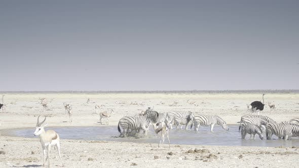 Thumbnail for Zebras Fighting at Waterhole