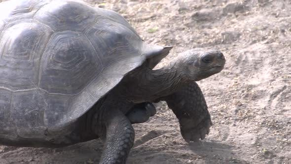 Thumbnail for The Galápagos tortoise walking towards the camera at Isabela