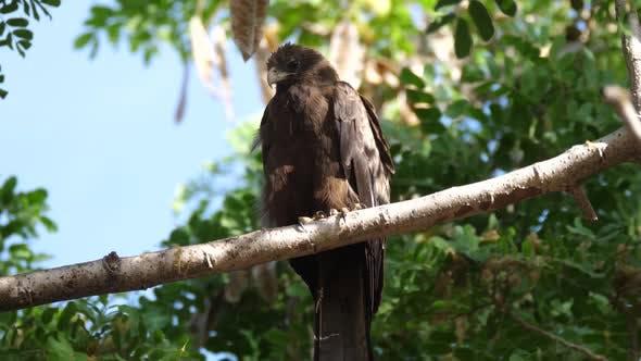 Kite bird in a tree in Senegal