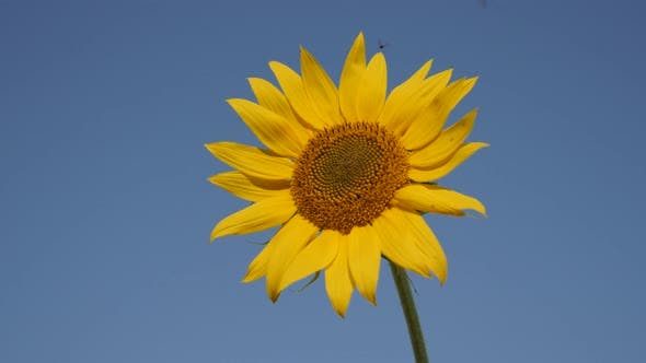 Thumbnail for Helianthus plant with flying insects 3840X2160 UltraHD footage - Sunflower and bees  background   38