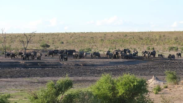 A large herd of African Bush elephants at Khaudum National Park