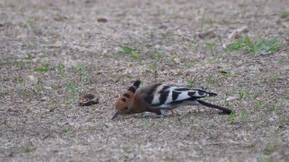 Cover Image for Hoopoes on the ground picking worms