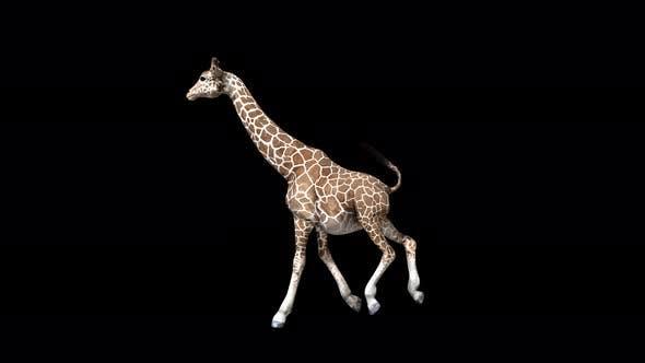 Thumbnail for 4K Giraffe Run