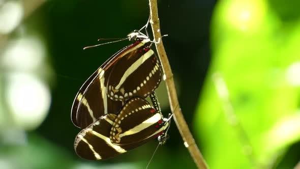 Thumbnail for Close up from mating butterflies in the forest
